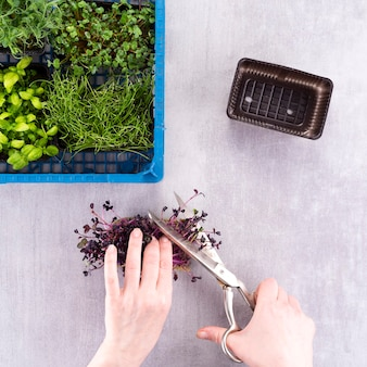 The girl cuts the shoots of young greenery, microgreens with scissors. growing useful herbs micro greens at home.