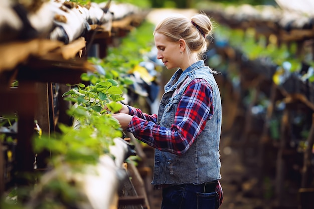 A girl farmer in a plaid shirt grows strawberries in a greenhouse