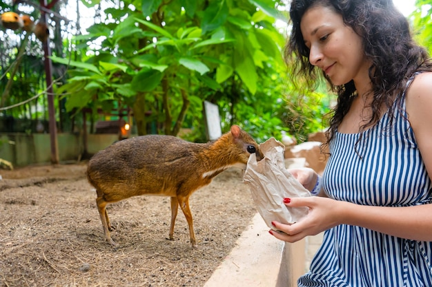 The girl feeds kanchil from her hands at the zoo