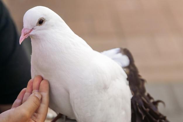 女の子は彼女の手のクローズアップで真っ白な鳩に餌をやる