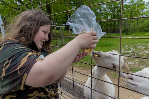 女の子は柵を通して黄色いトウモロコシで白いヤギを養います。家畜。