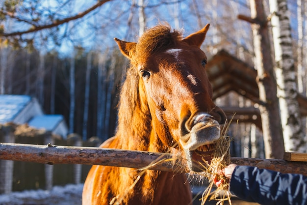 Girl gives red horse hay with outstretched hands