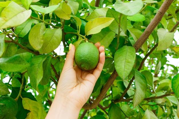 Girl hand holding green young lemon in lemon tree