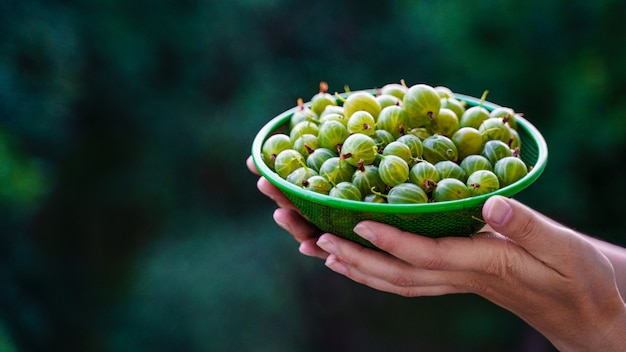 Girl hands hold a colander with green only washed gooseberries. green gooseberry fruit closeup