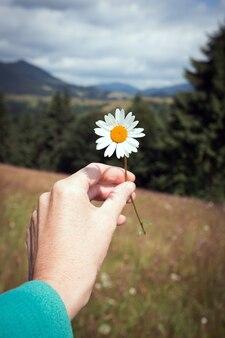 소녀는 산의 흰 데이지 초원에서 카모마일을 손에 들고 있다