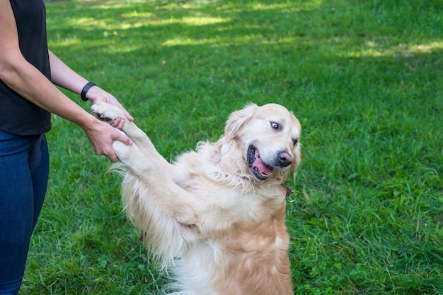 The girl holds the retriever by the front paws. dog is the best friend, dog training.