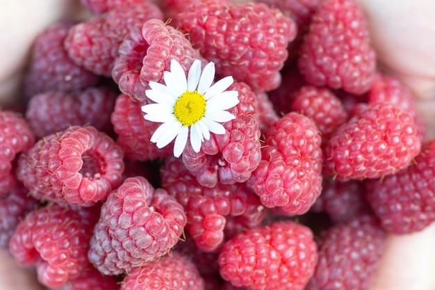 The girl holds a ripe raspberry in her hands on which a chamomile flower is lying