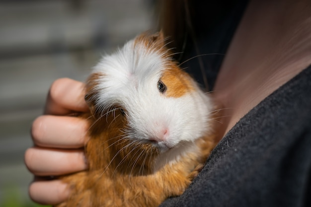 Girl is holding a white brown guinea pig.