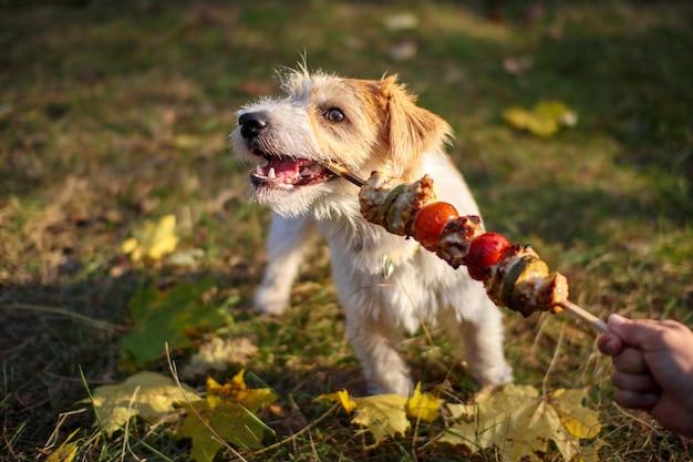 女の子はジャックラッセルテリアの子犬にバーベキュースティックを提供します。