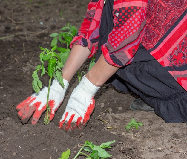 Girl planting seedlings of tomatoes in the ground