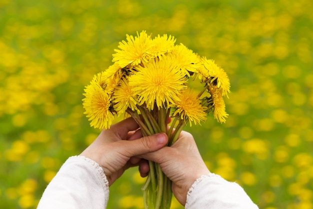 Girl`s hands holding a dandelion flowers bouquet in meadow.