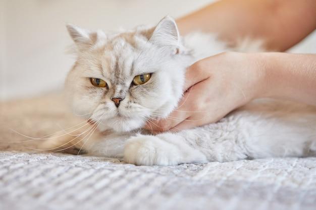 소녀는 영국 장발 흰 고양이의 목을 긁습니다.