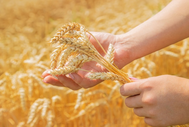 Girl spikelets of wheat in the hands.