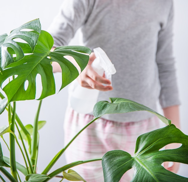 A girl sprays water on a monstera house plant. eco-friendly life, housework. close up
