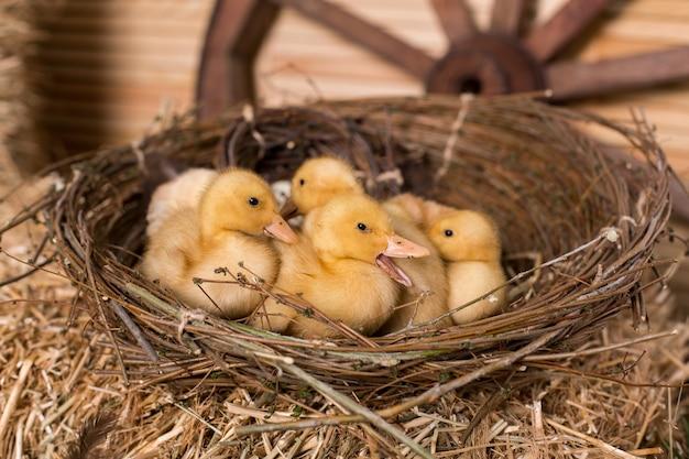 女の子は巣に座っているかわいいふわふわの小さなイースターアヒルの子を撫でます。