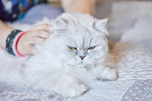 집에서 영국 상아탑에 흰 고양이를 쓰다듬어주는 소녀