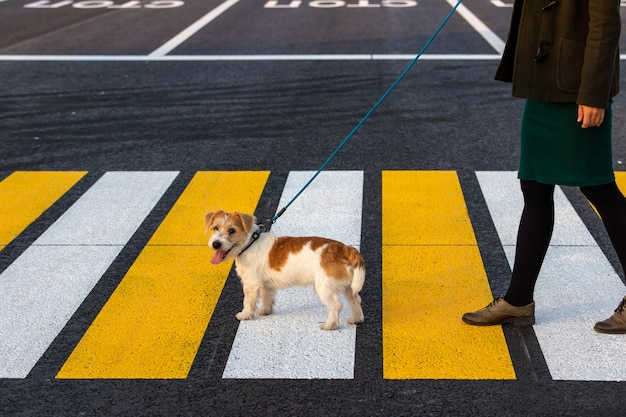 The girl teaches the dog to cross the pedestrian crossing