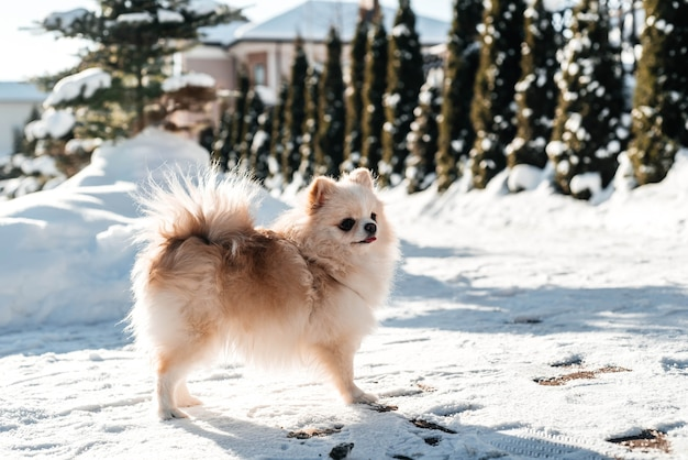 Girl with a dog puppy spitz playing in winter outdoors fun