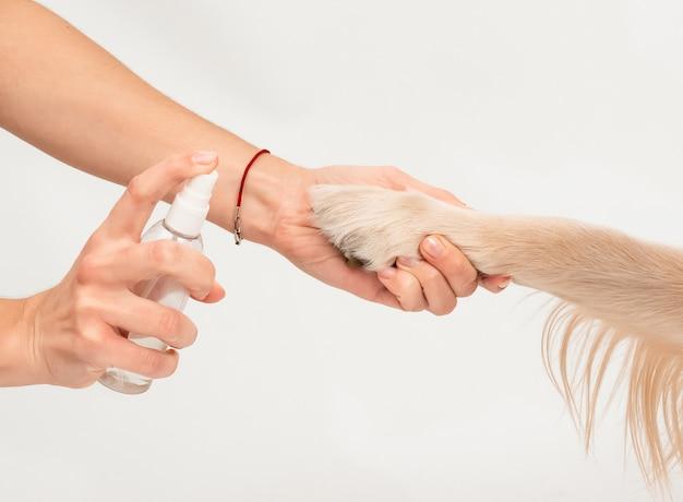 白い背景の消毒剤で消毒する犬の足を持っている女の子の手