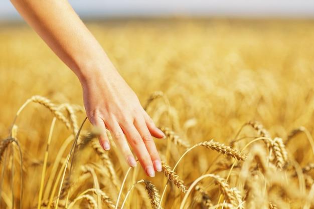 女の子の手が小麦の熟した穂に触れる