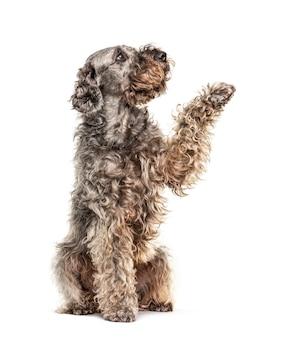 Дает лапу помесь собаки, глядя вверх, изолированные на белом