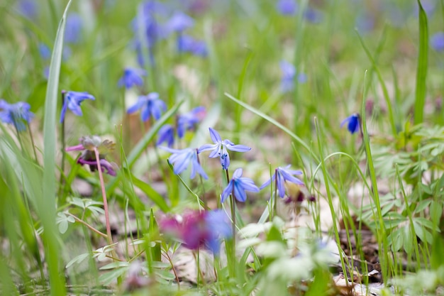 A glade of blue flowers, a glade of spring fragile flowers, the first flowers of spring