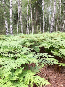 A glade of ferns in a mixed forest vertical