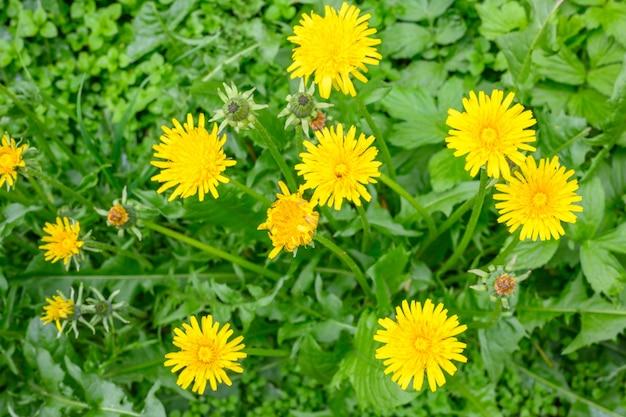 화창한 봄날에 신선한 초원 민들레의 빈터. 꽃이 만발한 민들레. 봄 분위기를 표현하기 좋은 배경입니다. 푹신한 새싹이 있는 민들레 식물.