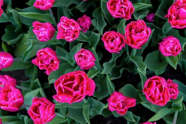 Поляна больших розовых тюльпанов, вид сверху