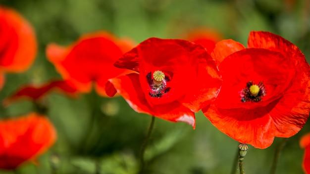 Поляна красных маков. цветы красные маки цветут на диком поле. красные маки в мягком свете. опийный мак. натуральные наркотики. поляна красных маков. одинокий мак. мягкое размытие фокуса Premium Фотографии