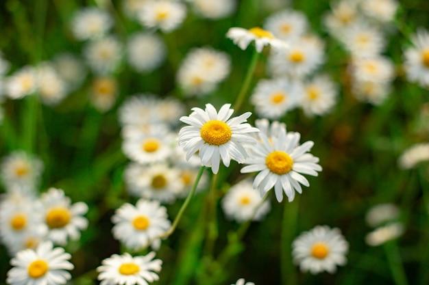 白いカモミールの花の空き地を平面図を閉じる