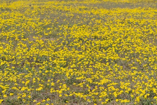 Поляна с желтыми весенними ромашками, выборочный фокус