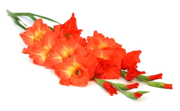 흰색 배경 위에 글라디올러스 꽃