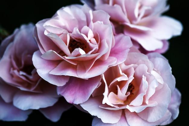 Гламурные пыльные розовые розы на темном для элегантного цветка