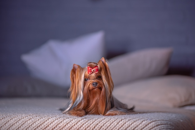 Glamorous dog breed yorkshire terrier lies on the bed in a photo studio with a new year's interior.
