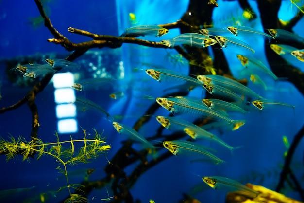 Стеклянный сом плавает в большом и ярком аквариуме в стаде
