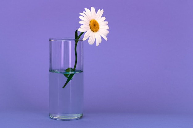 A glass with a beautiful, bright chamomile flower on a lilac background, on the right is a place for an inscription.
