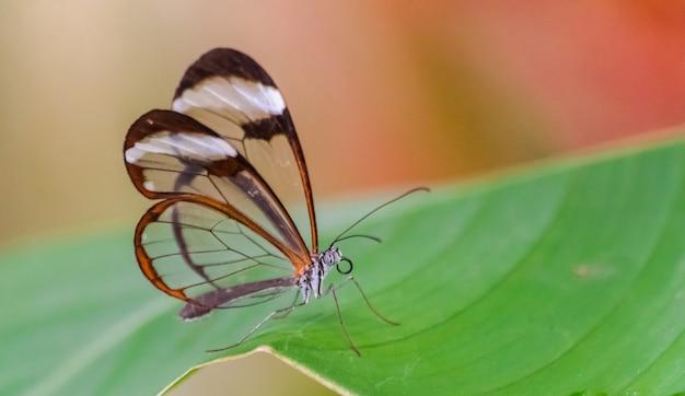 Glasswing butterfly on leaf