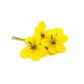 分離された緑のカシアの花