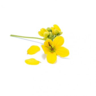 緑豊かなカッシアの花