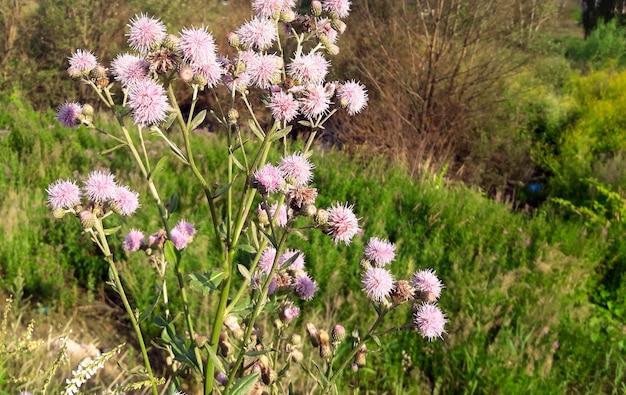 햇빛에 지구 엉겅퀴 꽃 echinops ritro veitchs 여름에 푸른 식물