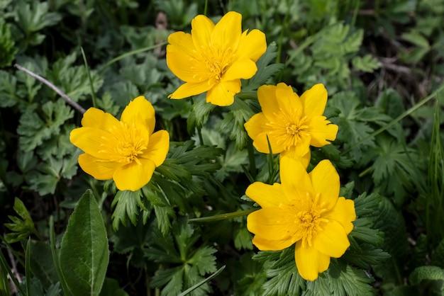 グローブフラワーキンバイソウ野生の山のサクラソウ最初の春の花
