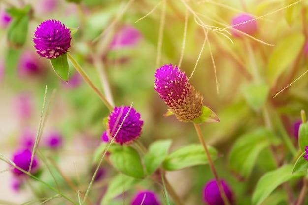 Пурпур globosa gomphrena с запачканной зеленой предпосылкой в саде.