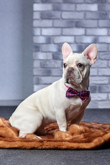 Gloomy french bulldog with red bow tie