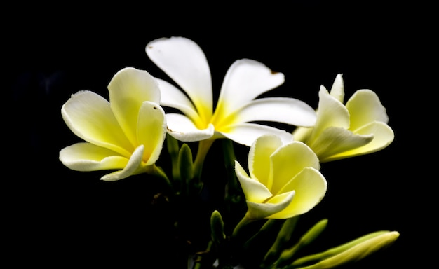Glorious frangipani or plumeria flowers, with black background.