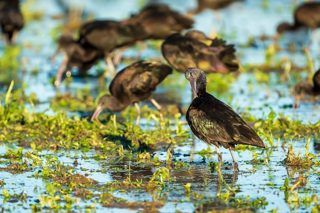 Glossy ibis (plegadis falcinellus) in a rice field in albufera of valencia natural park, valencia, spain.