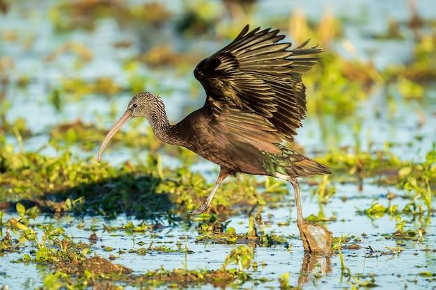スペイン、バレンシアのアルブフェラデバレンシア自然公園の水田にある片足のブロンズトキ(plegadis falcinellus)。 Premium写真