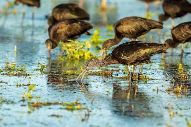 スペイン、バレンシアのアルブフェラデバレンシア自然公園の水田にある片足のブロンズトキ(plegadis falcinellus)。
