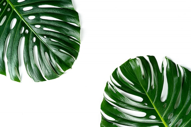 Glossy monstera leaf close up isolated on white background. creative photo