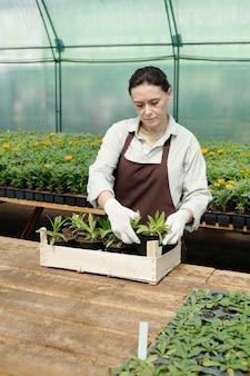 작업복을 입은 농부는 묘목이 든 냄비를 나무 상자에 넣습니다.